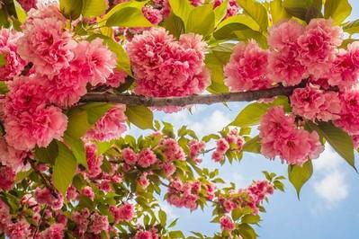 Kalendarz pylenia 2021: co pyli w maju? Alergie na brzozę, dąb i trawy aktywują się